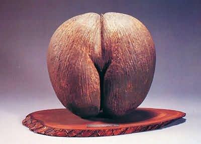 奇物一览 形似生殖器的塞舌尔海椰子