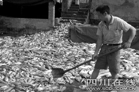 宜宾翠屏区3万公斤鱼暴毙 疑似人为投毒(图)