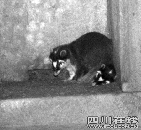 绝迹隆昌50余年之久的国家二级保护野生动物狗獾,神奇地成对出现在
