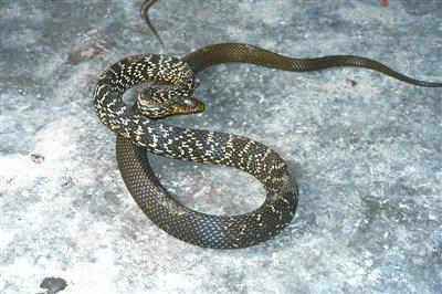 对此,武汉动物园总工程师,蛇类专家杜有顺解释说,东湖附近的山和江