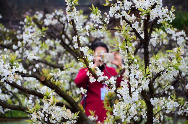 春到眉山赏花不会错 5条出游线路任你选(图)