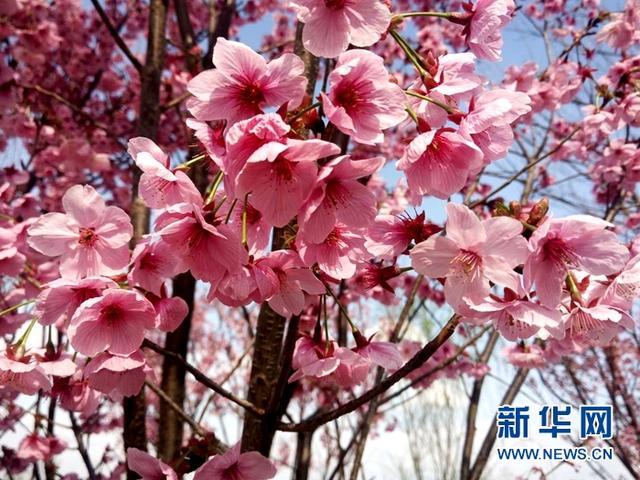 眉山赏花:带上这份全攻略 一次看尽眉山花