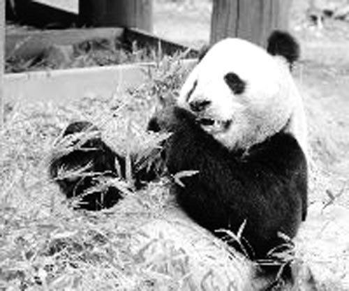 10 日,王子动物园内搭起了献花台悼念兴兴,上面摆放着兴兴的巨大遗照