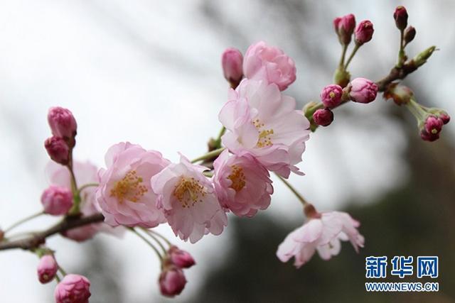 赏樱花:据说樱花飘落速度是每秒5厘米 你验证了吗