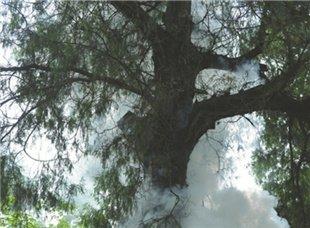 """拯救""""树坚强""""!2300岁剑阁柏重启繁育"""