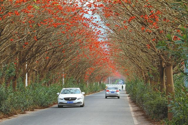 """西昌""""最美乡村公路""""升级 上千刺桐树搬家(图)"""