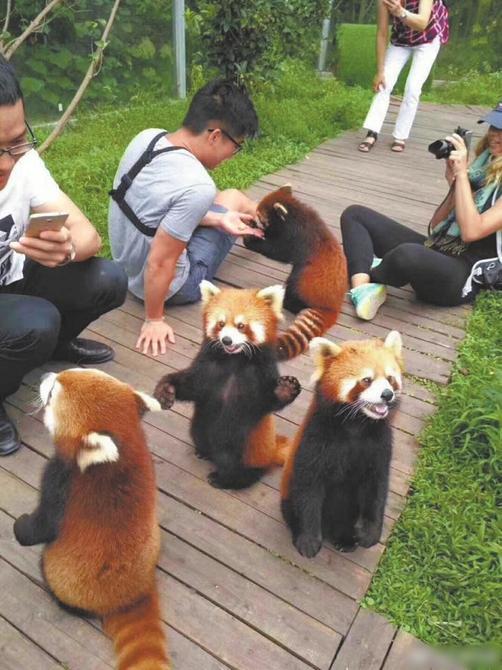 曝在成都某景区游客可与小熊猫亲密接触 引网友质疑