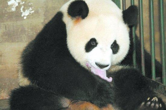 """北京奥运会吉祥物原型大熊猫""""晶晶""""当妈妈"""