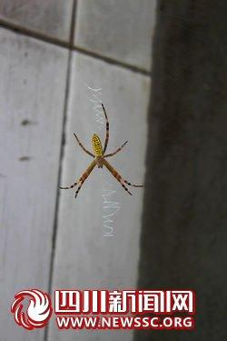 真稀奇!南溪林丰有会写英文字母的蜘蛛