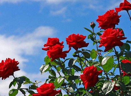 摘樱桃赏玫瑰 五一小长假成都近郊线路别错过