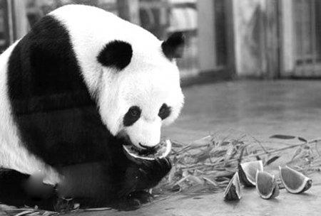 卧龙大熊猫泉泉 济南动物园纳凉时突然死亡