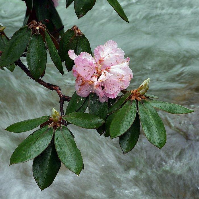 川西高山杜鹃每五月底至六月初盛开
