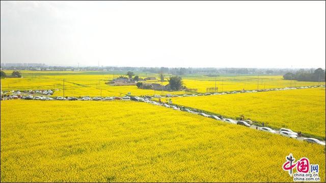 万亩花海中品茗 走入邛崃冉义油菜园金色世界