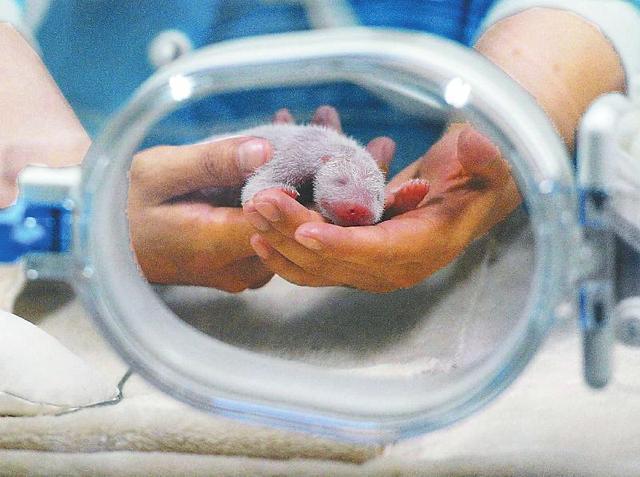 育幼员细心照顾刚出生的大熊猫宝宝.(资料图片)记者何海洋摄图片