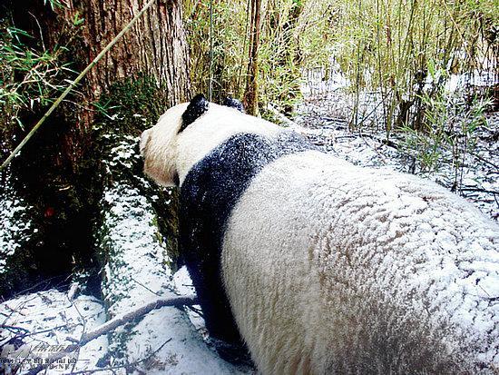 大熊猫恋爱帅哥:美女择偶撒尿美女闻味郊游(图程序铭表白三名蕊图片