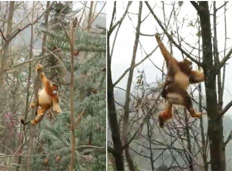金丝猴现都江堰居民区 村民为让它吃饱往树上挂苹果