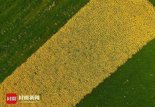 油菜花开 成都平原迎来最美春天