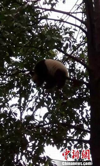 雅安蒙顶山再现野生大熊猫 幼仔树上玩耍萌态可掬