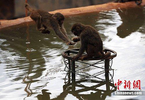 """云南野生动物园上演""""猴子捞月""""庆中秋"""