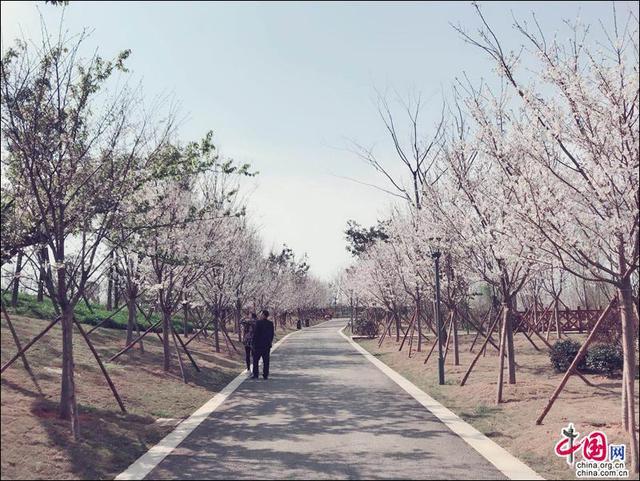 第二届眉山樱花节16日开幕 7条线路任你选