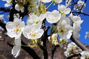 梨花还是金川的美 三天就能打来回