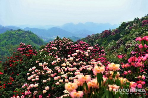 贵州毕节来蓉揽客 百里杜鹃风景值得一看(图)