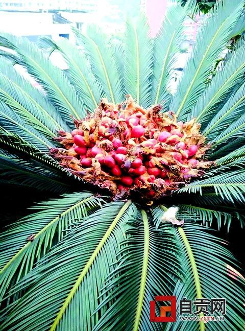 自贡一小区铁树开花又结果 引来邻居啧啧称奇(图)