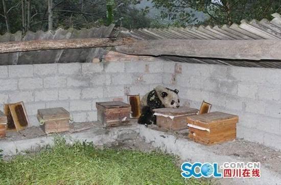 """野生大熊猫半夜进村""""偷""""蜂蜜 没过上嘴瘾被狗吓跑"""