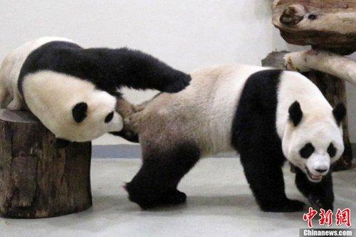 """台北写真:大熊猫""""房事""""牵动台湾民众"""