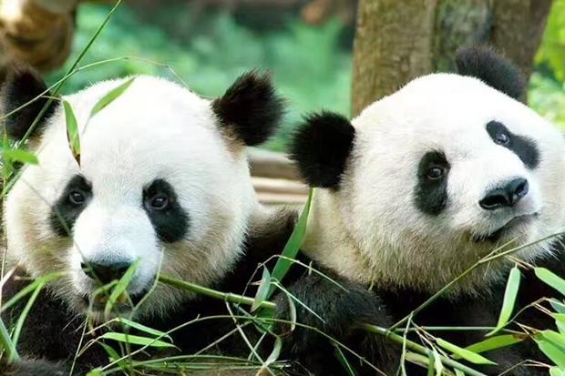 16年的期盼 两只大熊猫搭乘荷航航班旅居荷兰