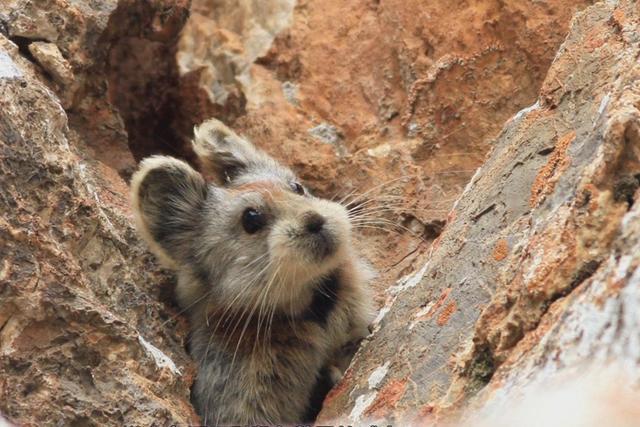 《秘境》01期:鼠兔守护者李维东