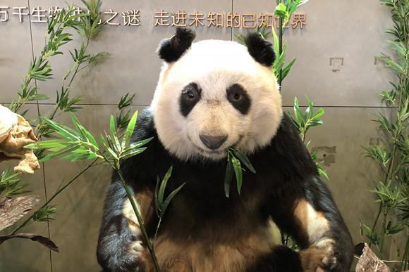 免费看 全球首只生物塑化大熊猫标本亮相成都