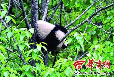 自驾车队景区发现野生大熊猫酣睡树枝上(图)