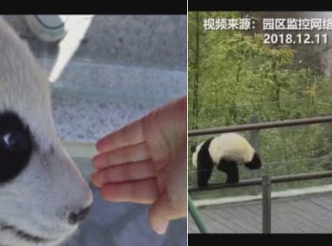 """四川女大学生偷摸大熊猫惹众怒 回应:熊猫""""碰瓷"""""""