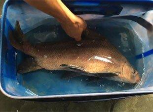 男子钓上神秘大鱼 原系国家保护动物