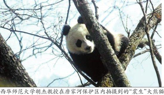 野生熊猫重现青川唐家河 保护区近日将开放