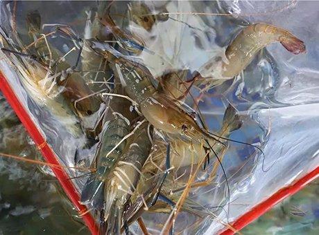 生猛海鲜一手市场打探 成都本地罗氏虾最巴适