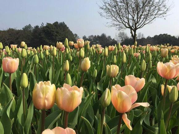 石象湖郁金香初盛放 谱写春日诗篇