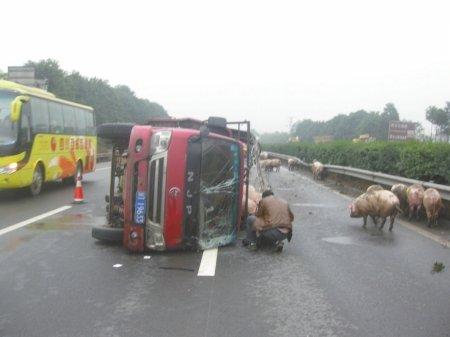 成雅/车祸发生后,猪儿跑上高速路