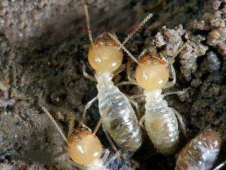 2011年白蚁分飞期将近 提醒市民加紧防治工作