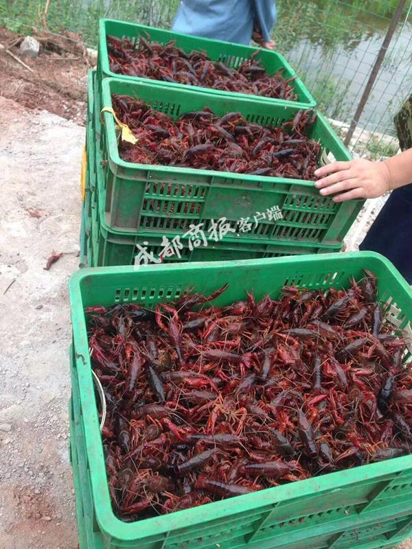 成都小龙虾供不应求 批发价半月上涨50%(图)