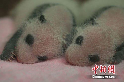 成都2011年首对大熊猫龙凤胎满月庆典9月举行