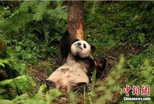 锦竹半野化环境下大熊猫成功产仔(图)