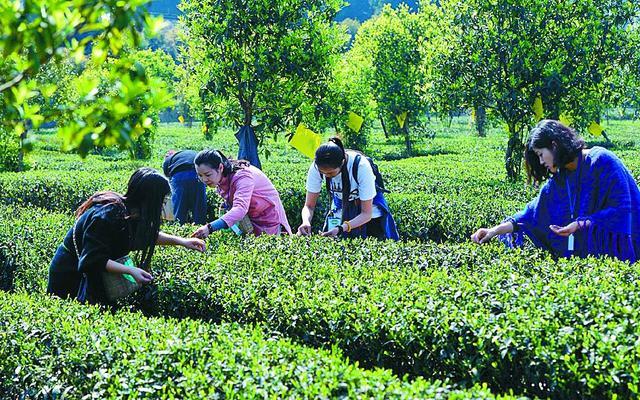 邛崃采茶节开幕 三条线路带你体验乡村游