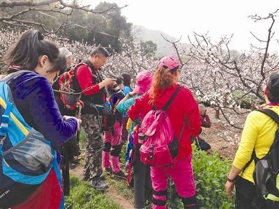 成都杏花开了!杏花林中千人健康徒步行