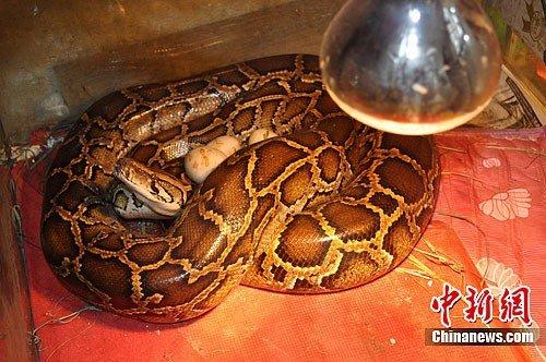 云南野生动物园首次成功人工孵化缅甸蟒