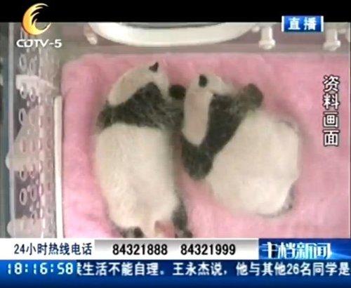 成都全接触:大熊猫龙凤胎满月庆典