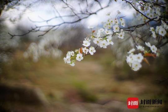 西昌安哈彝寨千亩梨花盛开 宛如童话世界