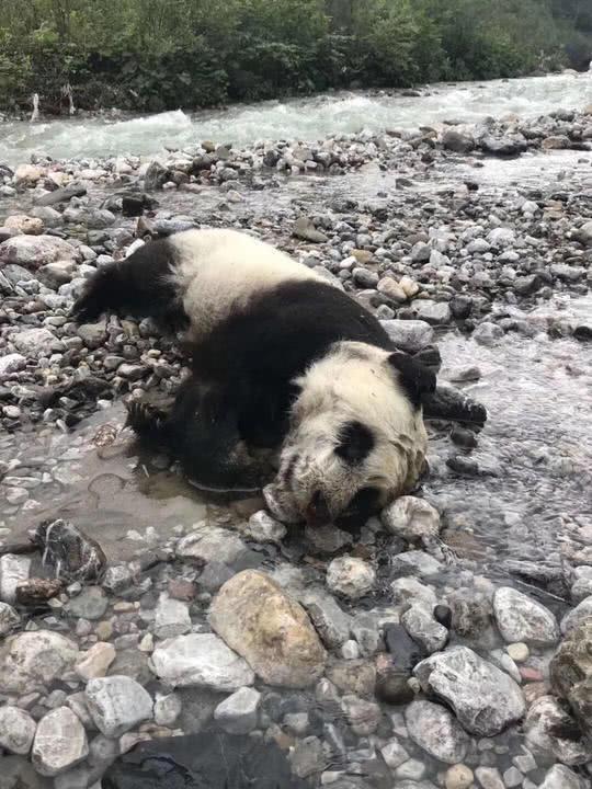 大熊猫遇暴雨溺亡 专家:动物生死都是自然规律