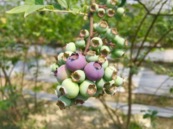 到成都蓝莓博览园采安仁蓝莓